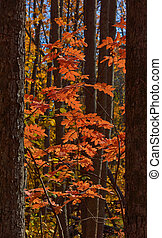 Red leaves of a mountain ash in the autumn forest.