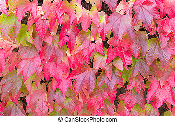 Red leaves of Boston ivy in the Fall - Red leaves of Boston...