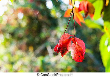 red leaves of Virginia creeper illuminated by sun - red...