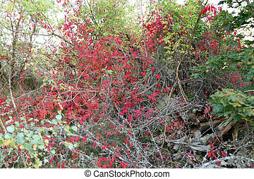 Red leaves of wild grapes in the trees in the park, autumn season