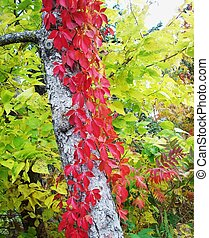 Red Leaves On Birch Tree