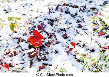 red leaves on lawn covered with the first snow