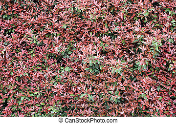Red leaves wall in the garden.