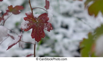Red leaves with Snow - Red leaves covered with Snow