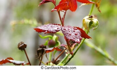 Red Leaves with Water Droplets