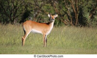Red lechwe antelope - Alert male red lechwe antelope (Kobus...