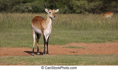 Red lechwe antelope - Ruminating male red lechwe antelope...
