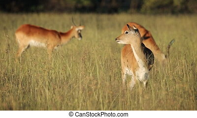 Red lechwe antelopes (Kobus leche) in natural habitat,...