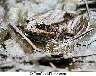 Red-legged Frog Hiding in Plain Sight - A Red-legged Frog ...