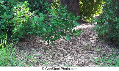 Red lesser panda (Ailurus fulgens) walks on the ground of a...