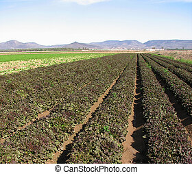 red lettuce rows
