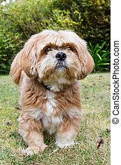 Lhasa Apso dog in a garden
