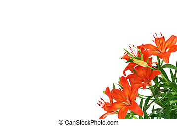 Red lilies - Beautiful red blooming lilie with green leaves