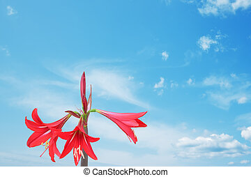 red lily and blue sky