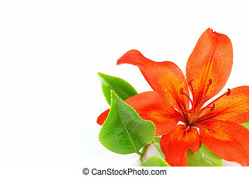 Red lily - Beautiful red blooming lilie with green leaves