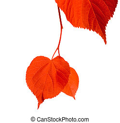 Red linden-tree leafs isolated on white