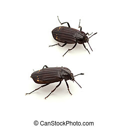 Carrion Beetle - Red-lined Carrion Beetle (Necrodes ...