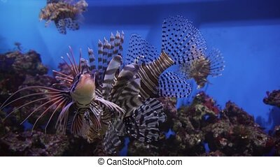Red lionfish in marine aquarium stock footage video - Red...