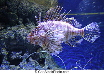 Red lionfish in sea