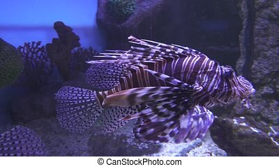 Red lionfish in the saltwater aquarium stock footage video -...
