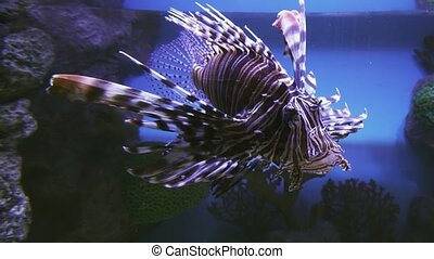 Red lionfish in the saltwater aquarium stock footage video