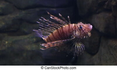Red lionfish is a venomous, coral reef fish in family...