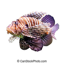 Red lionfish over white - Red lionfish. Isolated over white