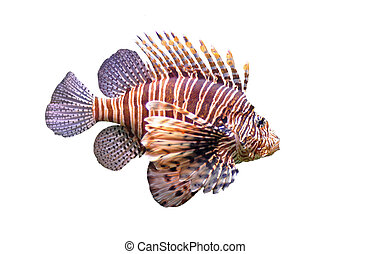Red lionfish - Pterois volitans in front of a white ...