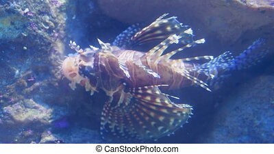 Red lionfish Pterois volitans is a venomous coral reef fish....