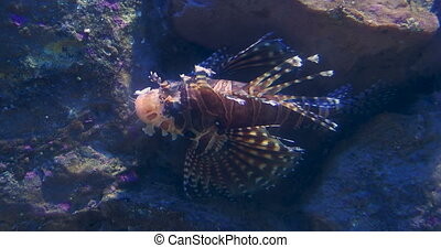 Red lionfish (Pterois volitans) is a venomous coral reef...