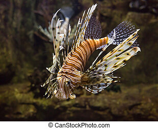 Red lionfish - Pterois volitans. Wild life animal. - Red...