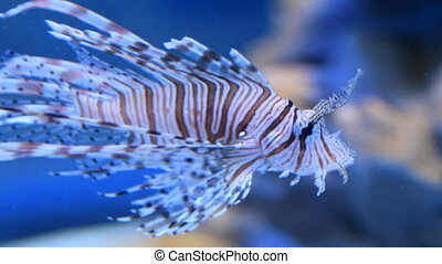 Red lionfish swimming in aquarium - Close-up shot of red...