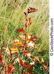 Red little autumn birch tree