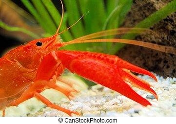 Lobster - red Lobster