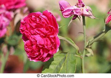 Red Lolita Lempicka Rose on the branch of tree. - Lolita ...