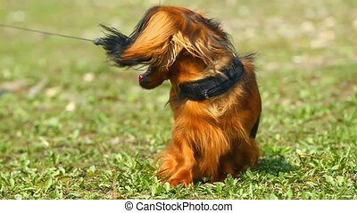 Red long-haired dachshund standing on the grass