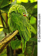 Red-lored parrot (Amazona autumnalis) sitting in a tree