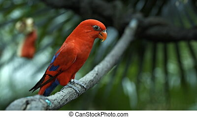 Red Lorikeet in the Aviary of a Popular Zoo - Red lorikeet,...