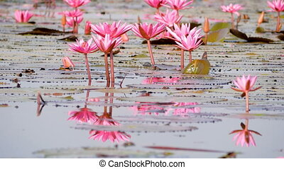 red lotus and refection in swamp
