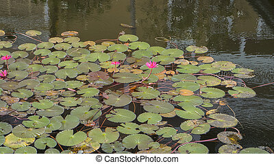red lotus in the pond