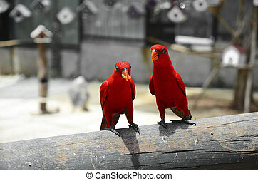 Red love birds