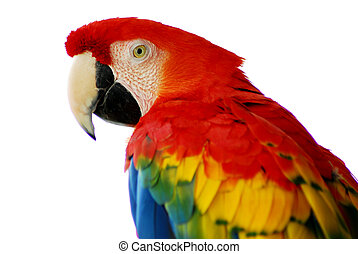 A closeup head shot of a red macaw bird
