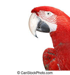 macaw bird isolated