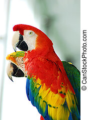 red macaw birds couple - A couple of colorful red macaw...