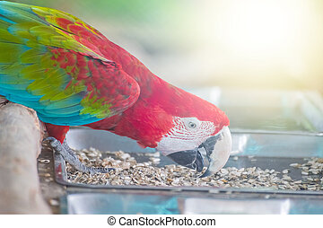 Red macaw eatting nature food