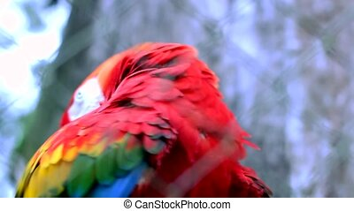 Red Macaw in an animal reserve in Misiones, Argentina.