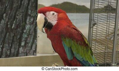 Red macaw parrot, or Macau Ara macao (Latin. Ara macao)