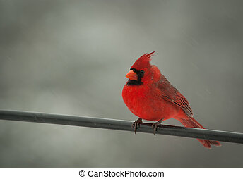 Red Male Cardinal
