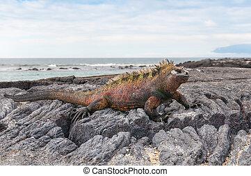 Red male marine Galapagos iguana - Colorful male marine...