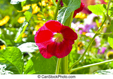 Red mallow flower in the light of the sun